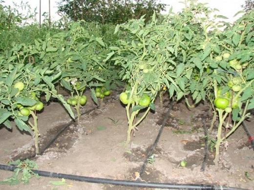 Система капельного полива помидоров на фото