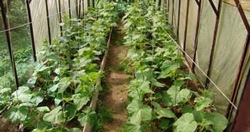 На снимке представлены огурцы, которые выращиваются в терлице