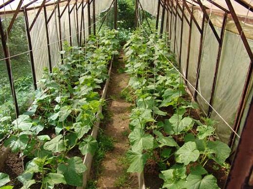 На снимке представлены огурцы, которые выращиваются в теплице