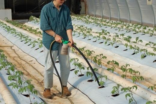 На снимке виден процесс полива помидоров с подкормкой из шланга