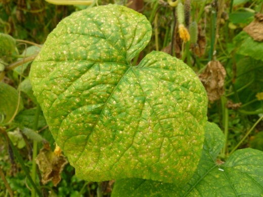 Болезнь проникает внутрь системы растения