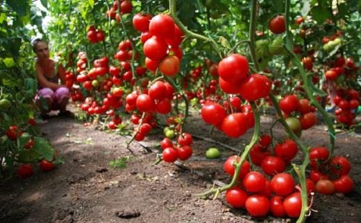 На снимке детерминантный сорт помидоров