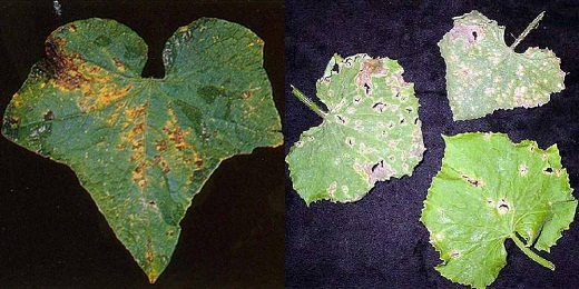 Листья пораженного огурца