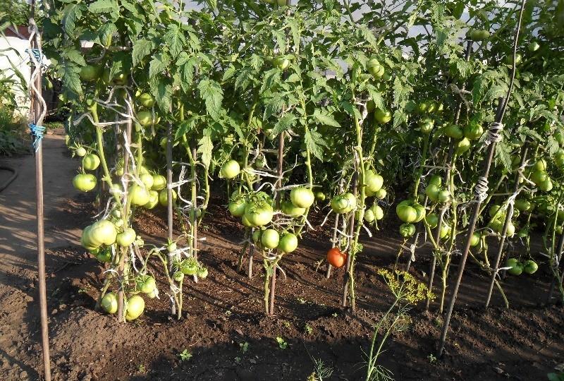 podvyazka-pomidorov-v-teplice_00001