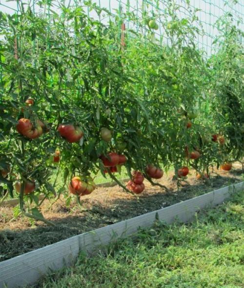 podvyazka-pomidorov-v-teplice_00002