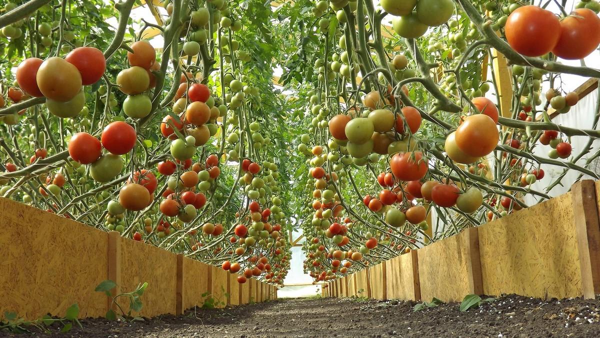 podvyazka-pomidorov-v-teplice_00003