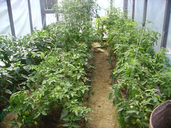 pomidory-dlya-teplicy-sorta-1