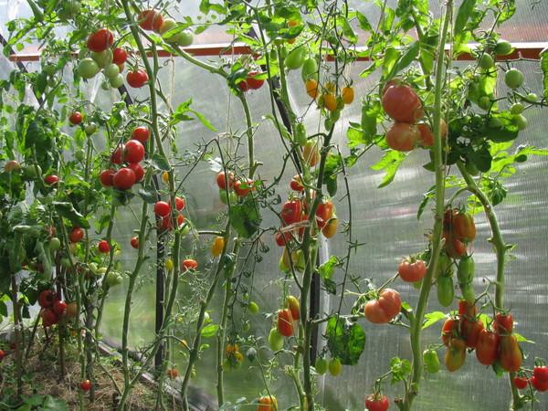 pomidory-dlya-teplicy-sorta-2