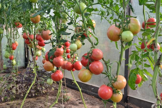 pomidory-dlya-teplicy-sorta-4
