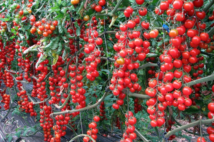 pomidory-dlya-teplicy-sorta-5