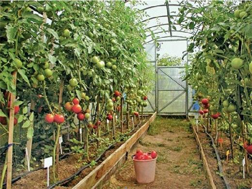 Солидный урожай помидоров, выращенных в теплице