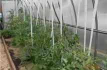 На фото пример правильного подвязывания помидоров в теплице