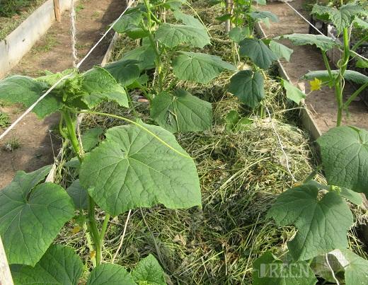 Прищипывание и выращивание огурцов