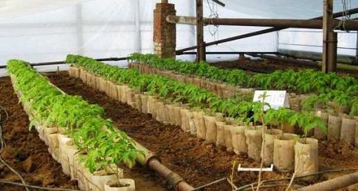 На снимке рассада помидоров, подготовленная для высадки в теплицу из поликарбоната
