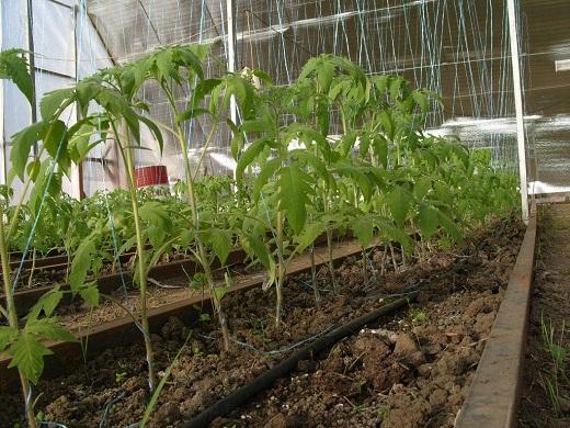 На снимке помидоры, недавно высаженные в теплицу