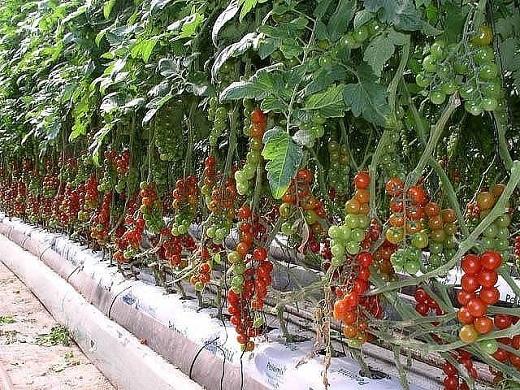 На фото представлен один из тепличных сортов помидоров