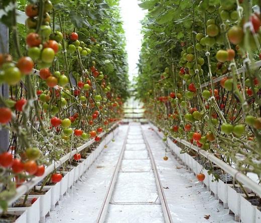 На фото томаты выращиваемые в теплице