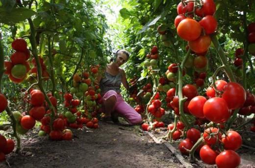 На снимке помидоры, выращиваемые в теплице