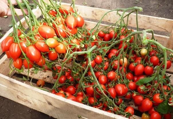 vyrashchivanie-pomidorov-v-teplice_00002