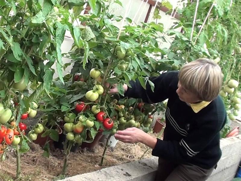 vyrashchivanie-pomidorov-v-teplice_00007