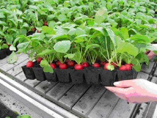 На снимке выращивание редиса в тепличных условиях