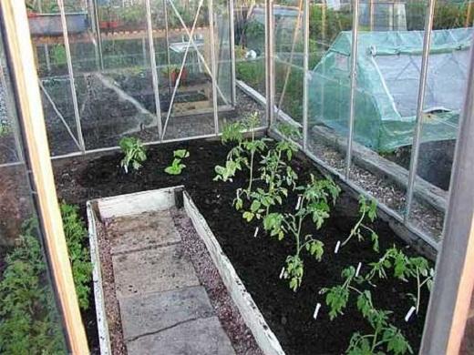 На фото высаженные помидоры в теплицу