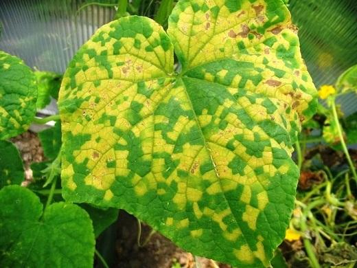 Недостаток азота является результатом пожелтения листьев огурцов, как на фото