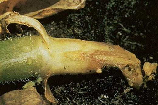 Зараженный корень огурца на фото