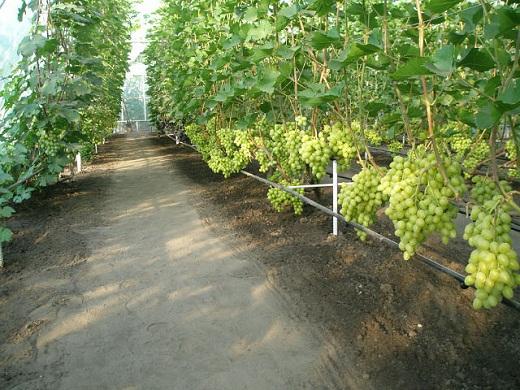 На снимке гроздья выращенного винограда