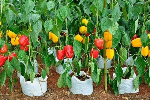 Пример комбинированного урожая перцев разных сортов