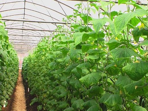 Огурцы прекрасно растут в теплице зимой при созданных комфортных условиях