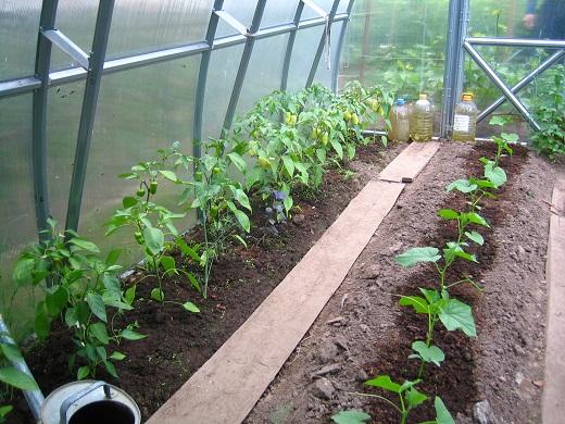 Пример выращивая в одной теплице огурцов с перцами