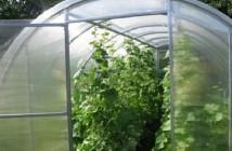 На фото огурцы, выращиваемые в теплице из поликарбоната