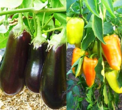 Выращивание в одной теплице двух культур