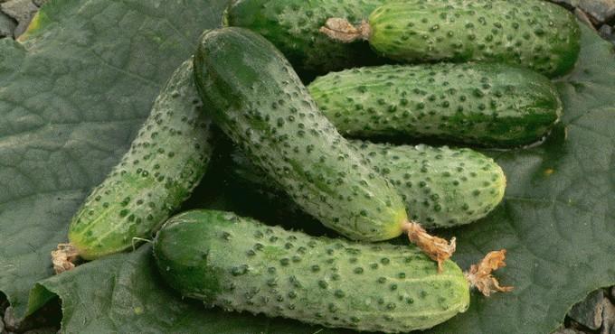 semena-ogurcov-dlya-teplic-3