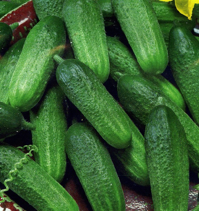 semena-ogurcov-dlya-teplic-5