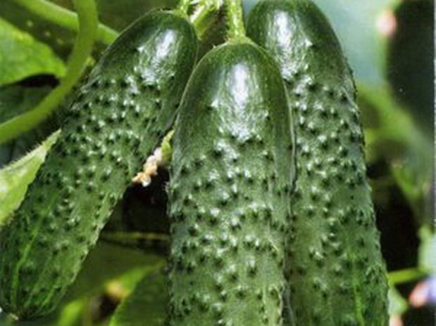 semena-ogurcov-dlya-teplic-7