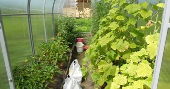 На фото соседство перца и огурцов в теплице