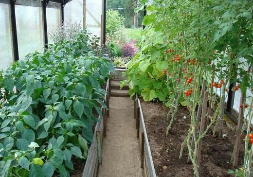 Выращивание перца с помидорами в одной теплице