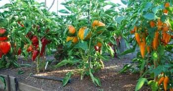 На снимке пример выращивания разных сортов перца в теплице