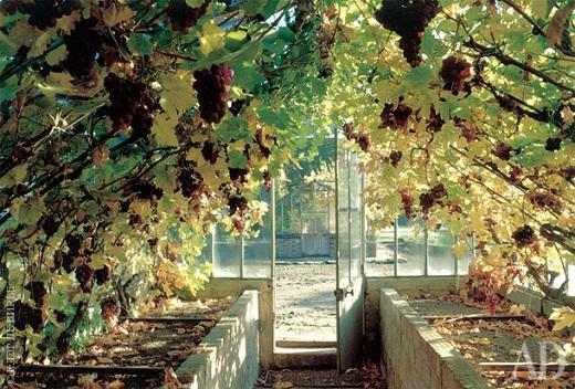 На снимке виноград в теплице