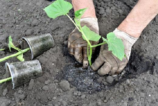 Вытянувшуюся рассаду огурцов высаживают в грунт на фото