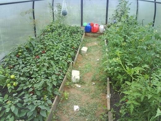На снимке представлены высаженные в теплицу перцы