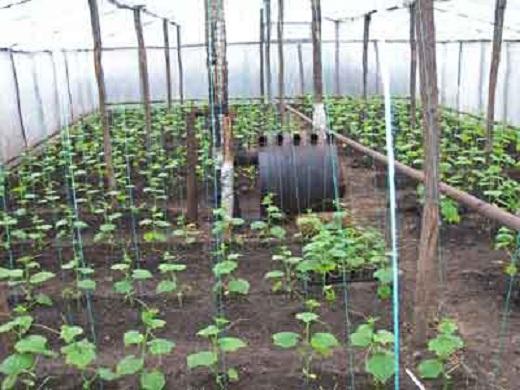 Зимняя теплица, обогреваемая дровяной печью, для выращивания огурцов